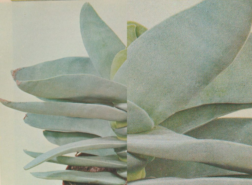 An image in two halves, the left half shows a print of a succulent plant from an old book. The right half shows an enlarged portion of the plant image, which makes the CMYK halftone pattern visible.